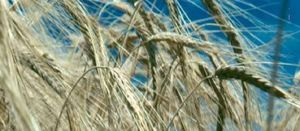 Two new barley varieties get the nod