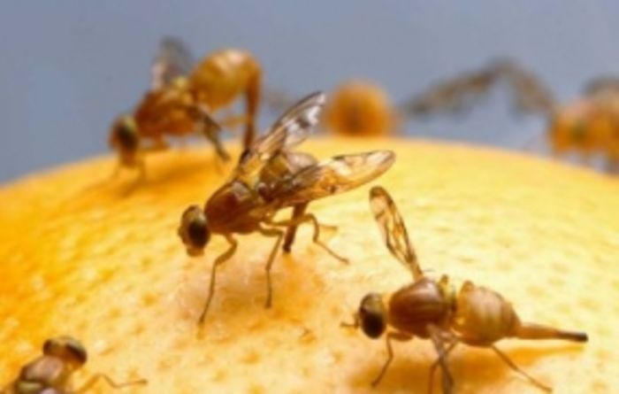 Baiting essential to avoid getting stung by fruit fly