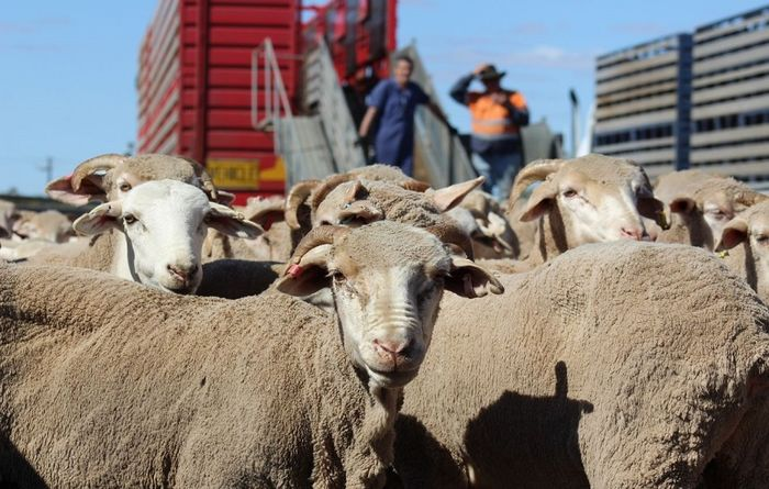 Electronic sheep tags to remain affordable