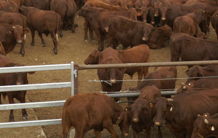 Indonesian beef import expansion has Aussies primed