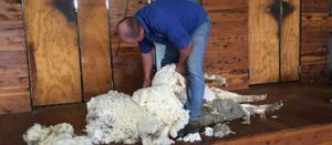 Avoid exposure losses following shearing