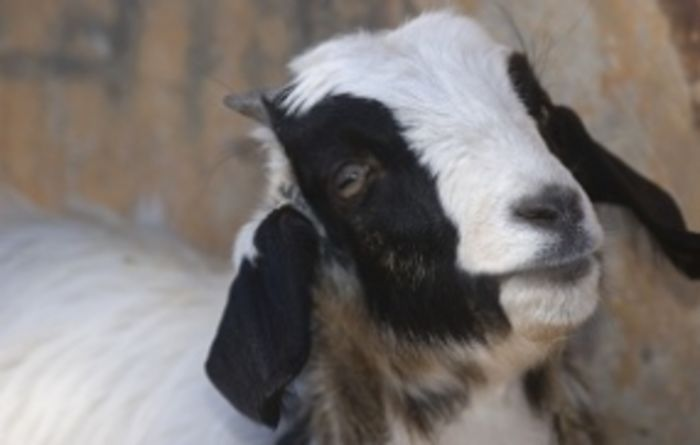 Goatmeat toppling records in Australia