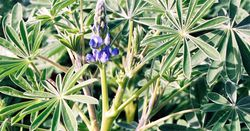 Control options for blue lupin investigated