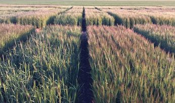 Research re-engineering barley head loss