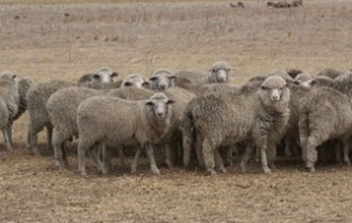 CSIRO sheep breakthrough eight years in the making