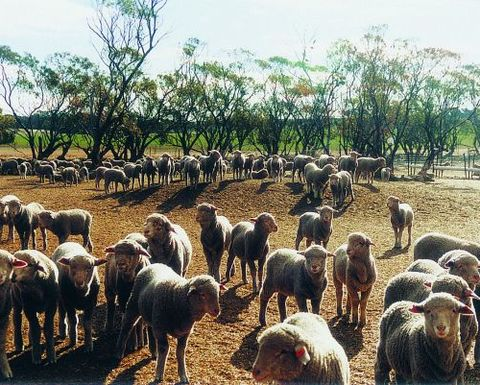 Sheep in Pakistan culled
