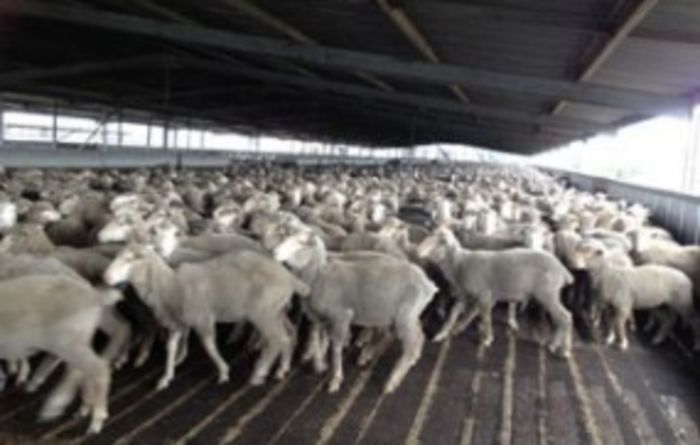 Sheep industry projections looking positive