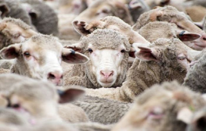 Drought doesn't take the shine off sheep outlook