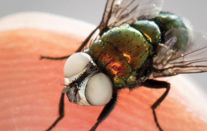 Inching towards a flystrike vaccine
