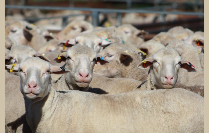 Strong sheep indicator prices kick start 2021