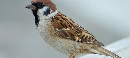 Growers on alert for tree sparrow