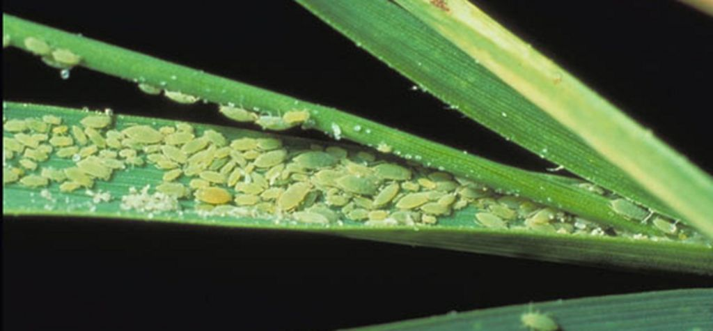 Don't let your guard down on Russian Wheat Aphids