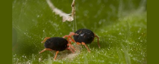 Red-legged earth mites causing concern in Victoria