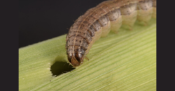 LAMP technology to help infield fall armyworm detection