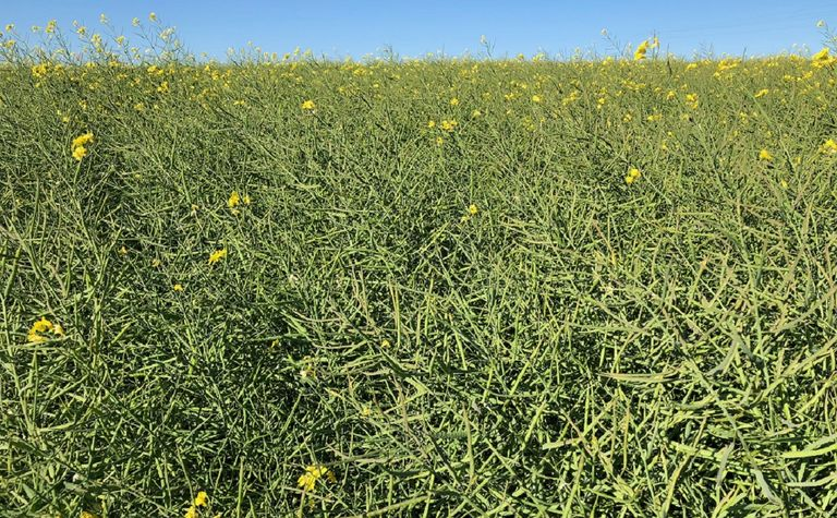 New canola varieties offer herbicide resistance