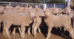 New sheep footrot vaccine available