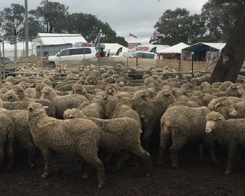 New governance for sheep meat body