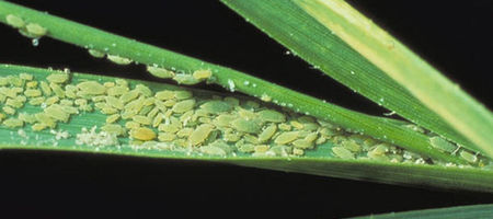 Determining Russian Wheat Aphid seed treatments