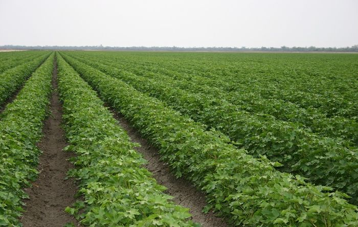 World-first chemistry approval announced for Australian cotton farmers