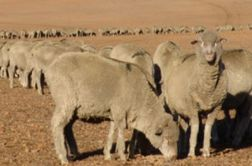 Review says Australian Wool Innovation needs to modernise