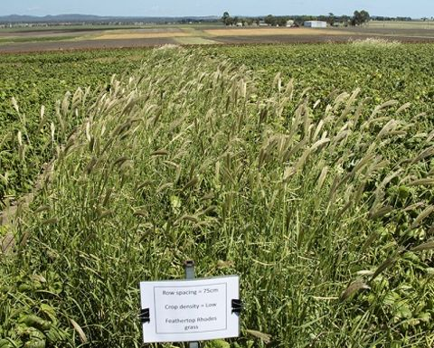 Mungbeans could help weed control methods