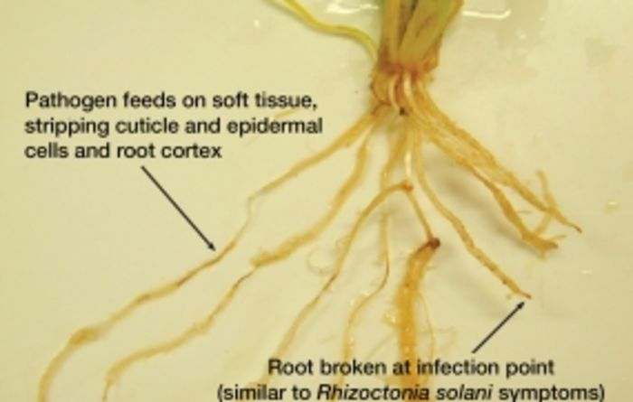Myths about Pythium root rot debunked
