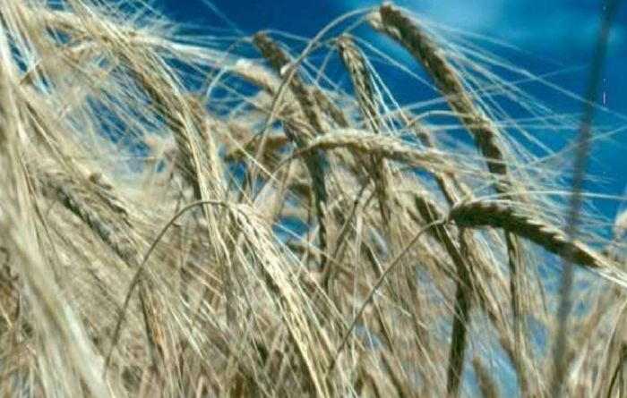 Researchers discover key barley disease resistance genes