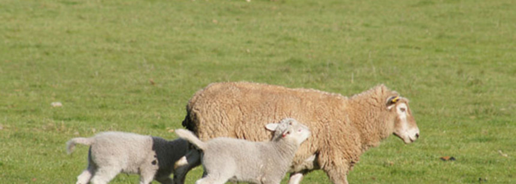 Preg tox warning for twinning ewes