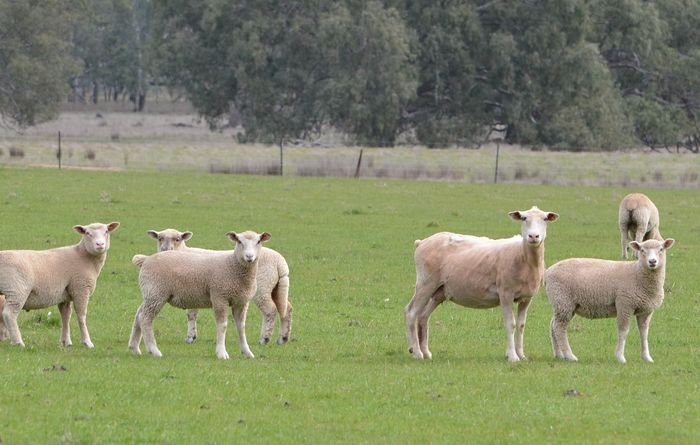 Low lamb slaughter forecast