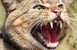 Feral felines declared a pest