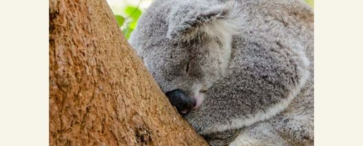 Koalas creating a stir for New South Wales farmers