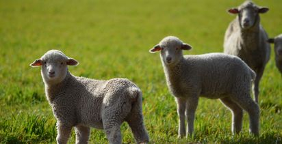 Young Guns needed for lamb event