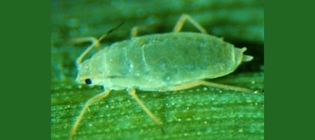 Russian Wheat Aphid warning