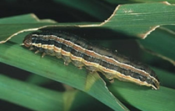 Armyworms on the march