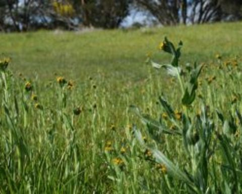 Stop parthenium weed spread into NSW