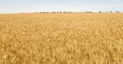 Future of wheat rooted in ancient ancestry