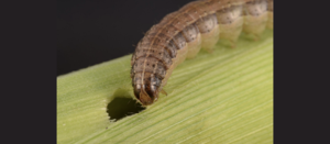 More control options approved to combat fall armyworm