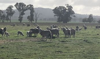 Mixed signals for sheepmeat exports