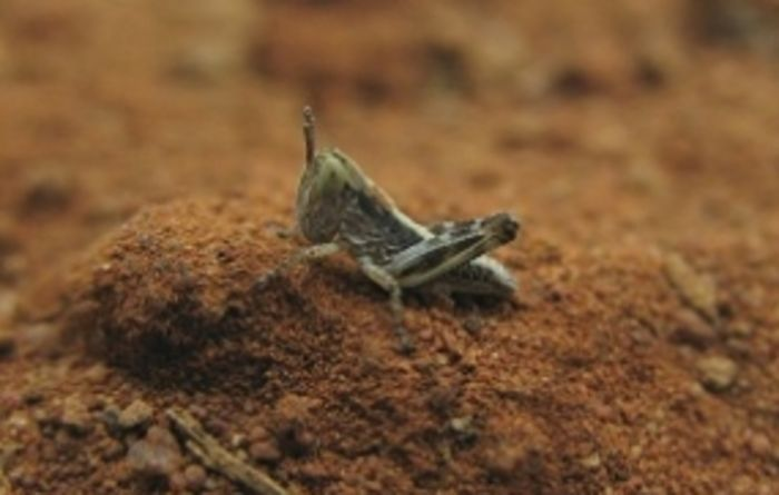 Spring locusts alert in WA grainbelt