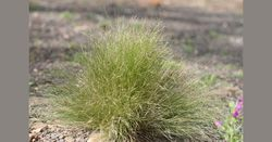 Control serrated tussock before seed set