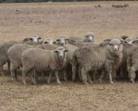 WA and Scots develop world-first sheep vaccine