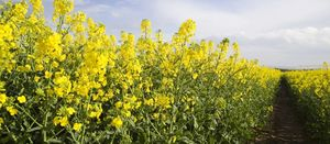 WA farmers free to grow GM crops