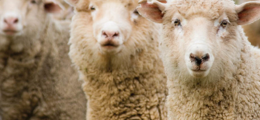 Research cracks the code of calmer sheep