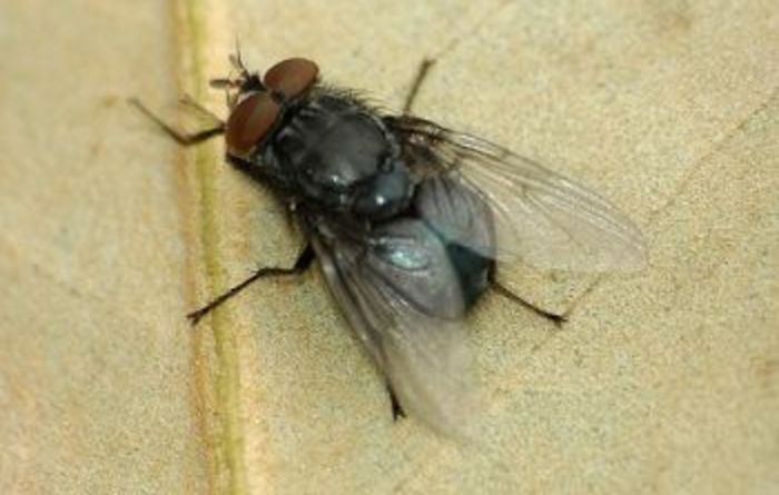 Stable fly fines on the cards