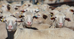 Sheep flock declines significantly