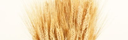 WA grain yields higher than expected