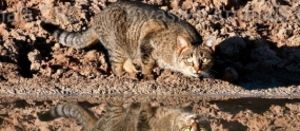 Priorities for effective feral cat management released