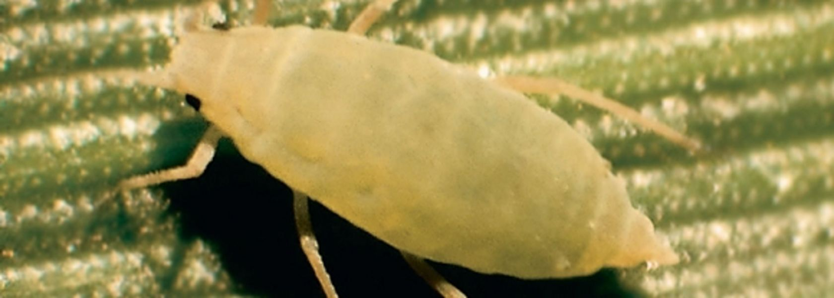 Russian Wheat Aphid moving north