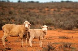 WA state budget may deliver new saleyards