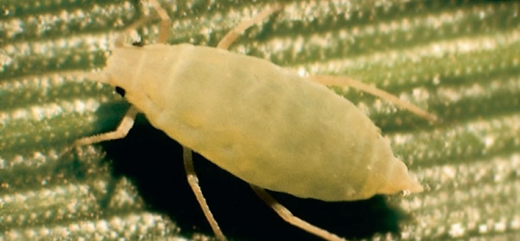 The keys to managing Russian wheat aphid